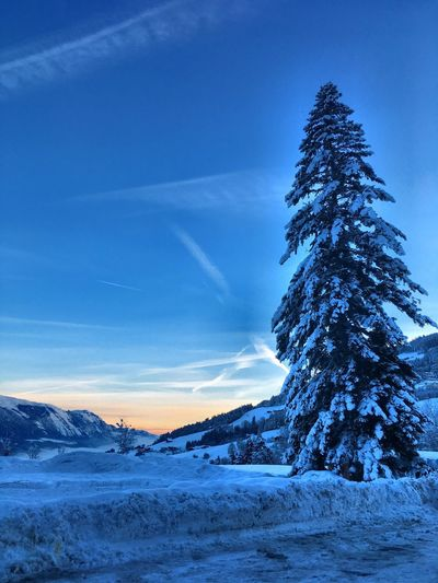 Trees on snow covered land against blue sky during sunset
