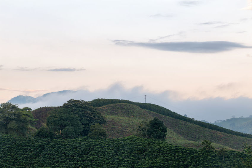 Rows of coffee trees in the early dawn light near Chinchina, Colombia. Andes Caffeine Coffee Colombia Farm Latin Manizales Nature Plant South Travel America Arabica Bean Caldas Chinchina Colombian  Drink Landscape Mountain Organic Plantation Robusta Triangle Tropical
