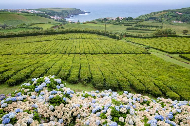Tea plantation by porto formoso town in azores, portugal. scenic view of tea plants and hydrangea