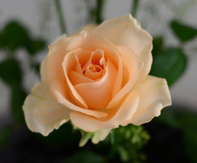 Bloom Blooming Close-up Flower Flower Head Fresh Flowers Peach Rose Rose - Flower Rose🌹 Single Flower First Eyeem Photo