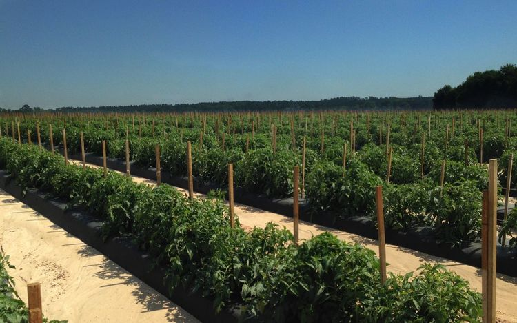 Early crop of staked tomatoes. No fruit yet. Tomato Plants Tomato Field Staked Tomato Plants Growth Farm Agriculture Plant Green Color No People In A Row Rows Of Things Clear Sky Rural Scene Outdoors Day