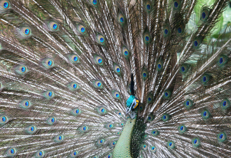 Animal Closeup Animal Themes Animal Wildlife Animals In The Wild Beauty In Nature Bird Close-up Day Fanned Out Feather  Nature No People One Animal Outdoors Peacock Peacock Feather Spread Wings Vanity
