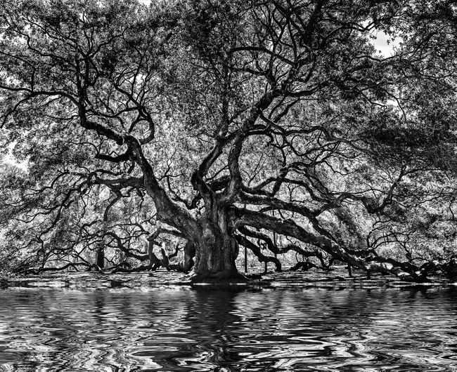 1000 year old angel oak tree Angel Oak Tree Angel Oak 1000 Years Old Structure Blackandwhite Black And White My Best Photo Travel Oak Tree Tree Water Plant Tranquility Waterfront Beauty In Nature Nature No People Lake Tranquil Scene Day Scenics - Nature Branch Outdoors Bare Tree Reflection Growth Rippled Waves