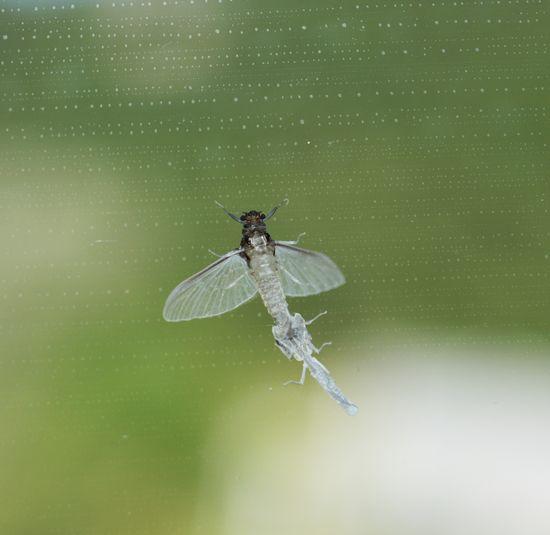 Mayfly On Window Mayfly Muta Moulting Ecdisi Gnat Midge Close-up Animal Themes Insect Perching Metamorphosis Effimera