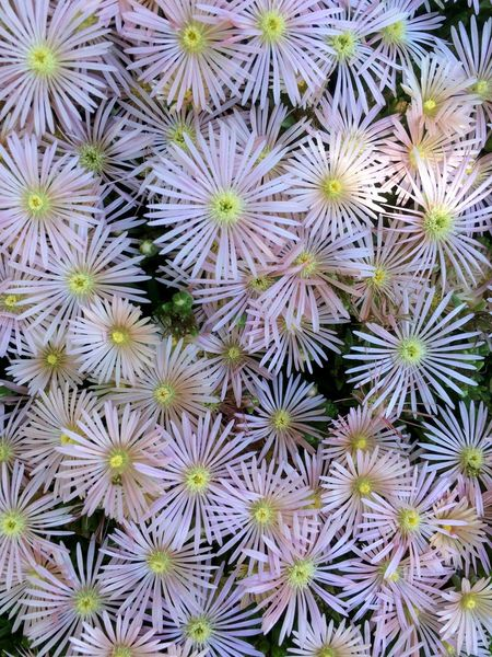 Blooms Close-up Flower ICE PLANT Pink Summer