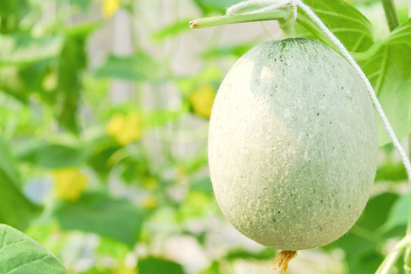 Close-up of cantaloupe growing on plant