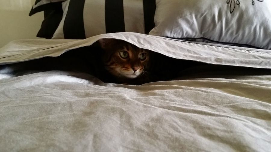 Hide And Seek Cheeky Comfy And Cozy Bed Catchmeifyoucan Mischief Catoftheday Cats Of EyeEm Catsanddogs Cat Photography Bengal Cat Bengal Tiger