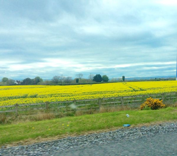 Butter Miles And Miles Of Flowers Yellow Field