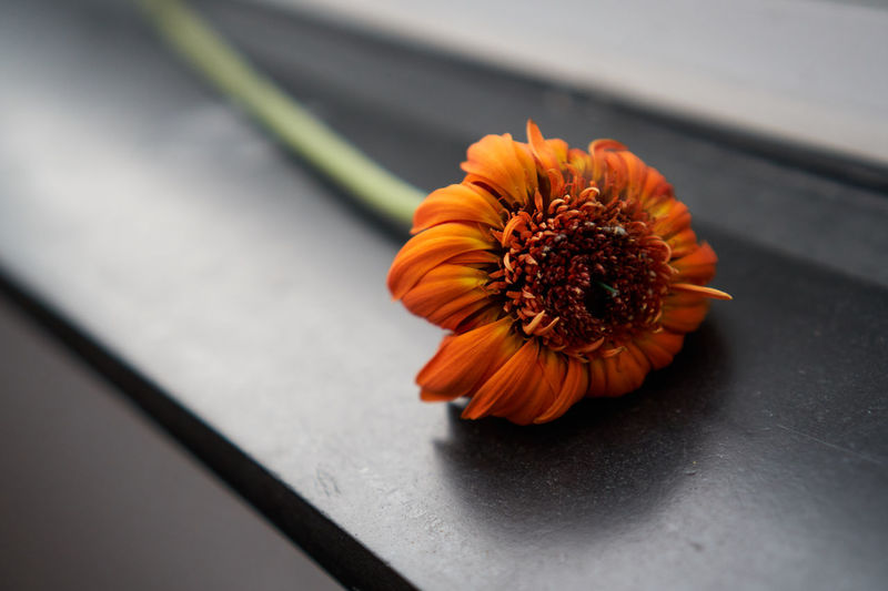 Flower Flowering Plant Freshness Fragility Flower Head Vulnerability  Petal Inflorescence Close-up Beauty In Nature Orange Color Plant Nature High Angle View No People Pollen Selective Focus Day Outdoors Gerbera Daisy Springtime