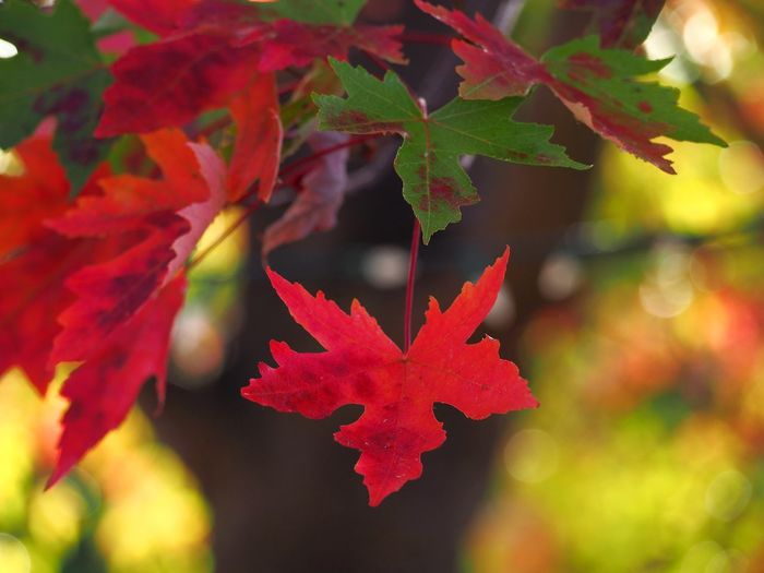Ice Hockey Maple Leaf Leaf Multi Colored Red Autumn Maple Tree Hockey Change Autumn Collection Leaves Fallen Fall