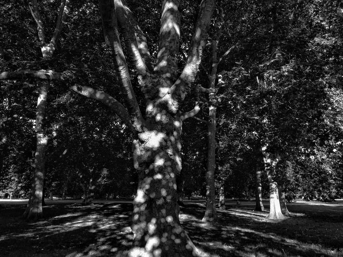 Green Park. London. Trees. Black and white Tree Tree Trunk Outdoors Nature Growth No People Day Motion Branch Beauty In Nature Outdoor Photography Tree Trunk Blackandwhite Bw London Green Park High Contrast Bnw High Contrast The Great Outdoors - 2017 EyeEm Awards Nature_collection Old Tree Sun Spots Postcode Postcards Black And White Friday
