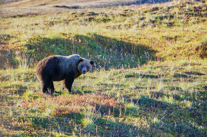 Bear Looking At