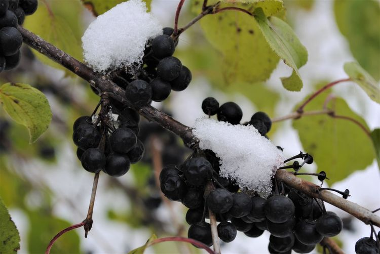 Close-up of frozen berries on snow