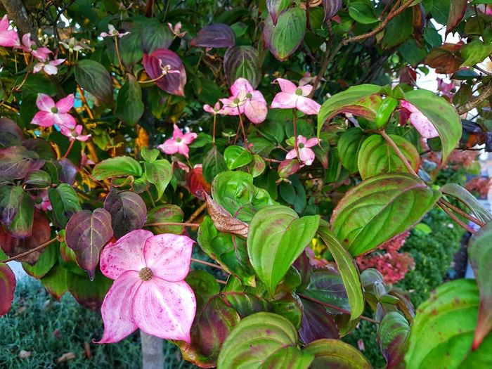 Pink and Green POP.. Dogwood Flowers Flower Head Flower Leaf Pink Color Close-up Plant Green Color EyeEmNewHere