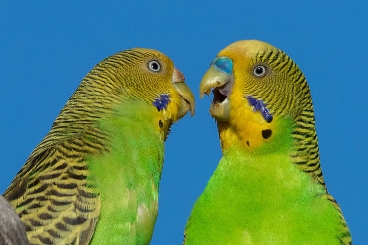 Budgerigar Melopsittacus Undulatus Wellensittiche Wild Budgerigars Courtsh Animal Themes Animal Wildlife Animals In The Wild Beak Beauty In Nature Bird Blue Clear Sky Day Green Color Nature No People Outdoors Parrot Togetherness Two Animals