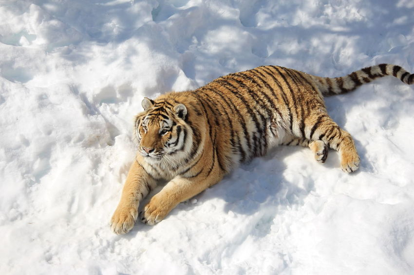 springtime at the zoo Snow Winter One Animal Nature Animals In The Wild Cold Temperature Animal Wildlife No People Outdoors Animal Themes Close-up Mammal Day Tiger-love Tiger