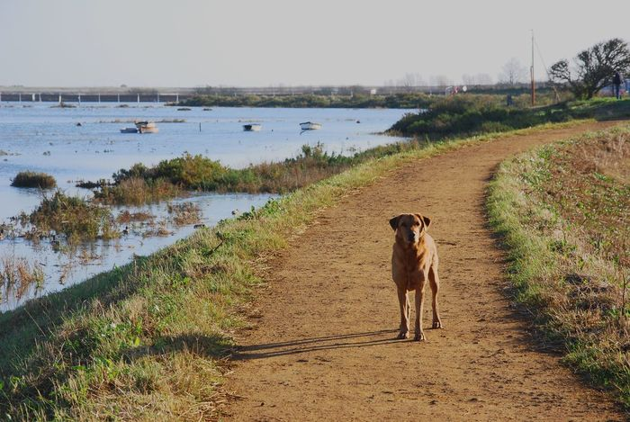 Domestic Animals Dog Animal Themes Pets One Animal Water Mammal Nature Outdoors Standing Riverbank Sky Beach Day Beauty In Nature No People Labrador Retriever Fox Red Lab LabradorRetriever Labrador