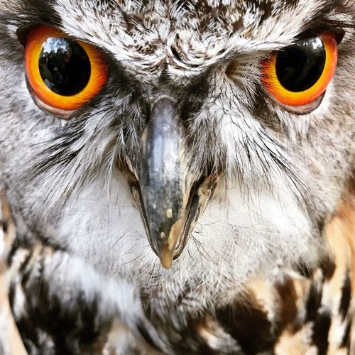 Owl European Owl Bird Bird Of Prey Looking At Camera One Animal Portrait Close-up Beak No People Nature Animal Wildlife Animal Eye