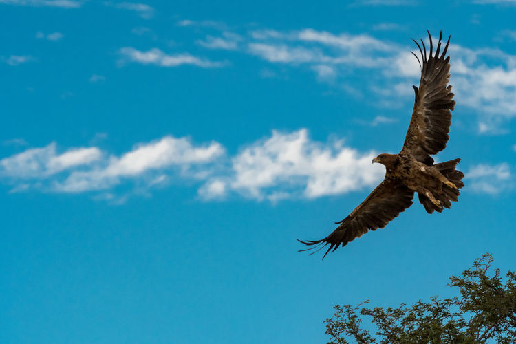 Animals In The Wild Birds Of Africa EyeEm Birds EyeEm Nature Lover Tawny Eagle  Wildlife Photography Animal Themes Animal Wildlife Beauty In Nature Bird Bird Of Prey Blue Flying Kgalagadi Transfrontier Park Low Angle View Mid-air Nature No People Outdoors Sky Spread Wings
