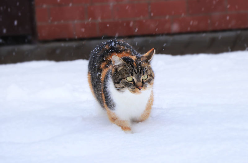Close-up of a cat on snow