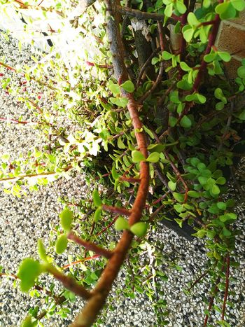 ||Spring is Here!|| Green Color Nature Growth Close-up Green Leaves Plant Nature Beauty In Nature Succulent Tree Small Tree