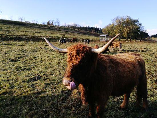 Domestic Animals 3XSPUnity Hochlandrinder Tettau Frankenwald  Outdoors