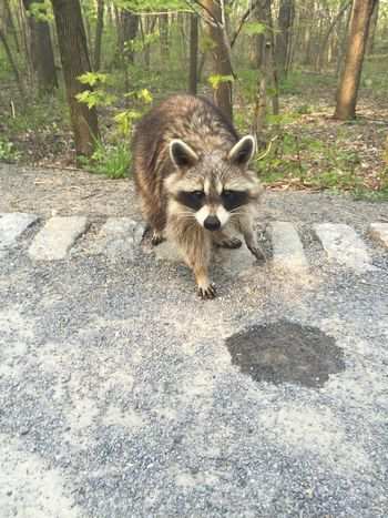 Racoon Animals Mount-Royal she ate the butter on my biscuits