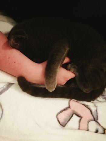 Pets Animal Themes Kitten Kater Russischblau