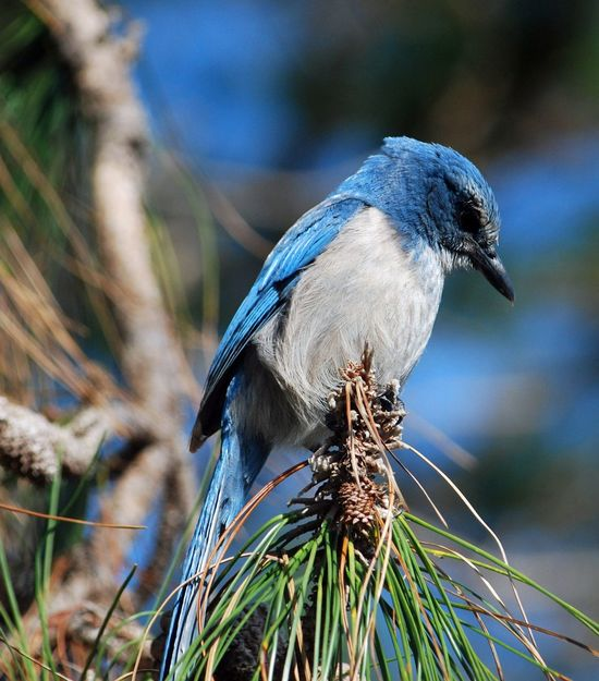 Endangered Scrub Jay on a cold day in the refuge Bird One Animal Animal Themes Focus On Foreground Animals In The Wild Animal Wildlife Perching Nature Outdoors