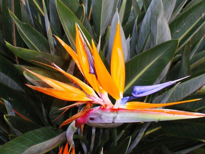Flower Growth Plant Flower Flowering Plant Beauty In Nature Fragility Vulnerability  Petal Freshness Inflorescence Bird Of Paradise - Plant Flower Head Close-up Day Leaf Plant Part Nature Orange Color No People