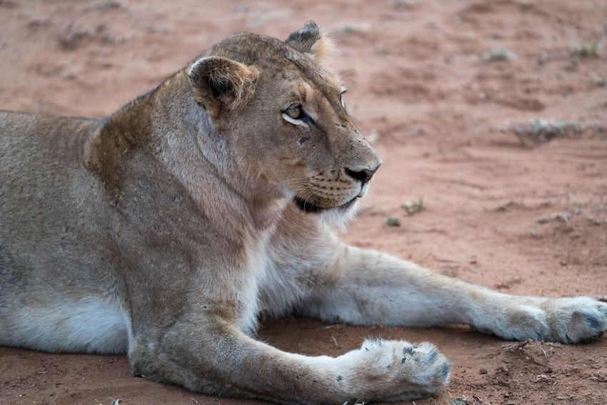 Lioness on the Lookout EyeEmNewHere Wildlife Rough Paws Tan Hunter Predator Gaze Stare Eyes Lion Big Cat Wild South Africa Africa Safari Animals In The Wild Animal Wildlife One Animal Day Lioness Lion - Feline Animal Themes Close-up Mammal No People Outdoors Nature EyeEmNewHere