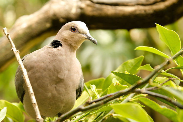 Animal Themes Animal Bird Animal Wildlife Animals In The Wild One Animal Vertebrate Perching Plant Tree Plant Part Nature Close-up Leaf No People Day Focus On Foreground Branch Dove - Bird Outdoors