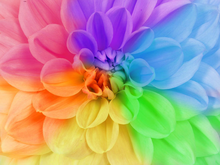 Close up full frame of a blooming chrysanthemum flower in different rainbow colors Full Frame Rain Bow <3 Colors Rain Bow Flowering Plant Flower Head Chrysanthemum Flower Multi Colored