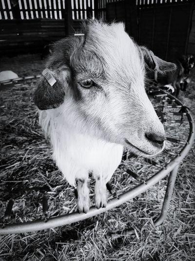 Goat Farm Black & White Black And White B&w Samsung Galaxy S7