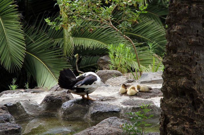 Animal Themes Animal Wildlife Animals In The Wild Beauty In Nature Bird Day Dreaming Duck Baby Family Growth Nature No People Outdoors Perching Plant Rock - Object Siesta Sleeping Duck Tree Water EyeEmNewHere EyeEm Selects Sommergefühle