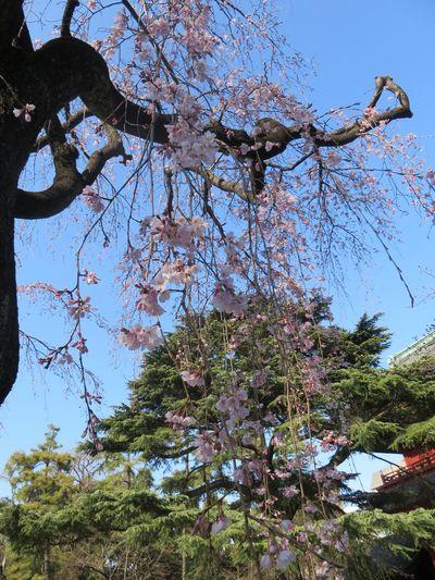 Urban Spring Fever Zojojitemple Sakura2016 Tokyo,Japan