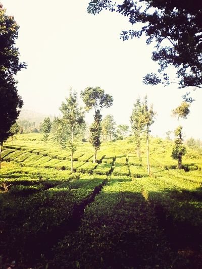 Morningview Puncak  Green Latepost #teagarden