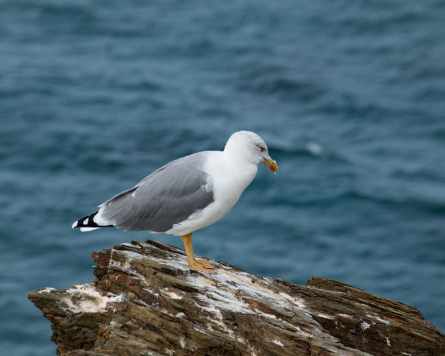 Bird Photography Gull On Rock Nature Photography Sea Gull Shallow Depth Of Field Animal Themes Animal Wildlife Animals In The Wild Bird Day Grey And White Preening Time  Sea Cliffs