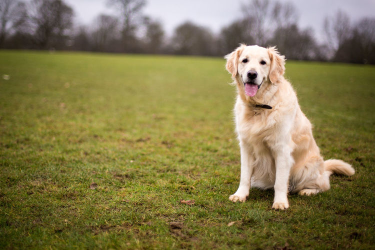 Animal Themes Day Dog Dogs Field Golden Goldenretriever Mammal No People Outdoors Park Pattern Pets Relaxing Running Two Dogs