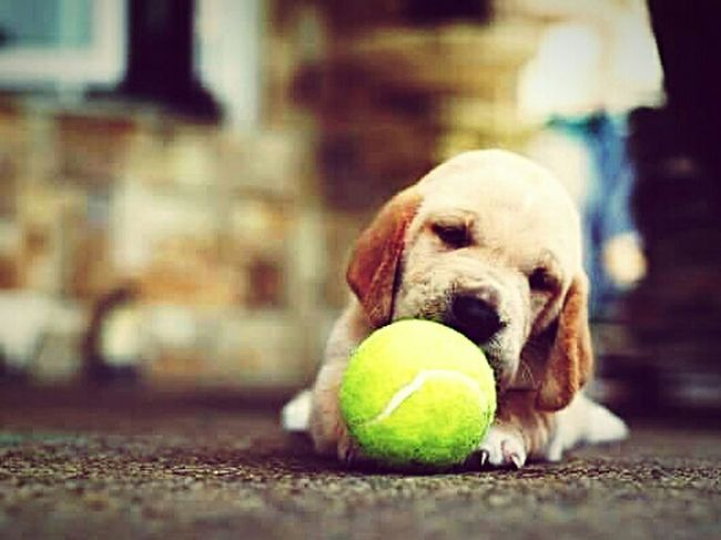 Everyday Joy None of us will ever know joy like this adorable basset-retriever playing with a tennis ball. Utterly adorable. Puppy Puppy Love Puppyplaytime Puppy Playtime Cute Cutepuppy