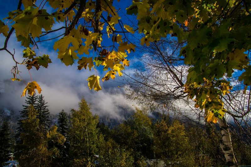 argentiere,chamonix,haute savoie,france Tree Plant Branch Autumn Beauty In Nature Tranquility Growth Change No People Sky Nature Scenics - Nature Tranquil Scene Low Angle View Day Outdoors Land Leaf Plant Part Yellow