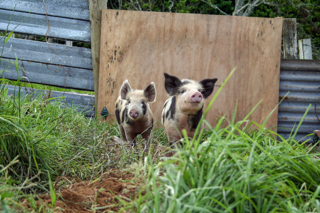 Two piglets foraging in the mud in their pen. New Plymouth, New Zealand. Farm Animals Pigs Animal Themes Cute Animals Day Foraging Foraging For Food Grass Happy Pigs Lifestyle Block Looking At Camera Mammal Nature No People Outdoors Pets Pig Pen Pig Sty Piglets Two Animals Young Animal