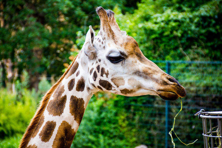 Giraffe Eating Vine At Zoo
