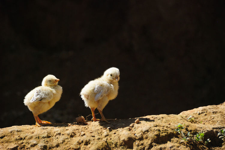 Baby Chickens On Wall Outdoors