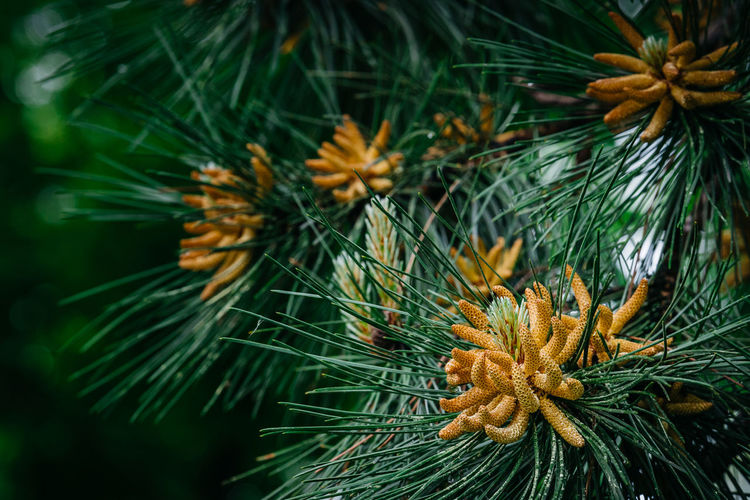Beauty In Nature Branch Close-up Day Freshness Green Color Growth Nature Needle No People Outdoors Pine Pine Cone Pine Fruits Pine Tree Tree