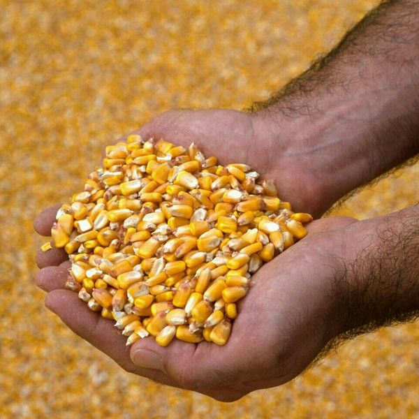 Hands Agricoltura Food Yellow mais