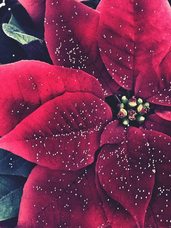 Christmas Flower Poinsettia Freshness Fragility Drop Nature Flower Wet Christmastime Christmas Decorations Christmas Spirit Beauty In Nature Growth Petal Close-up Red Rain Dew Flower Head Leaf No People Plant Outdoors Purity