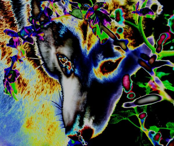 Foraging huskie Computer Art Abstractions In Colors