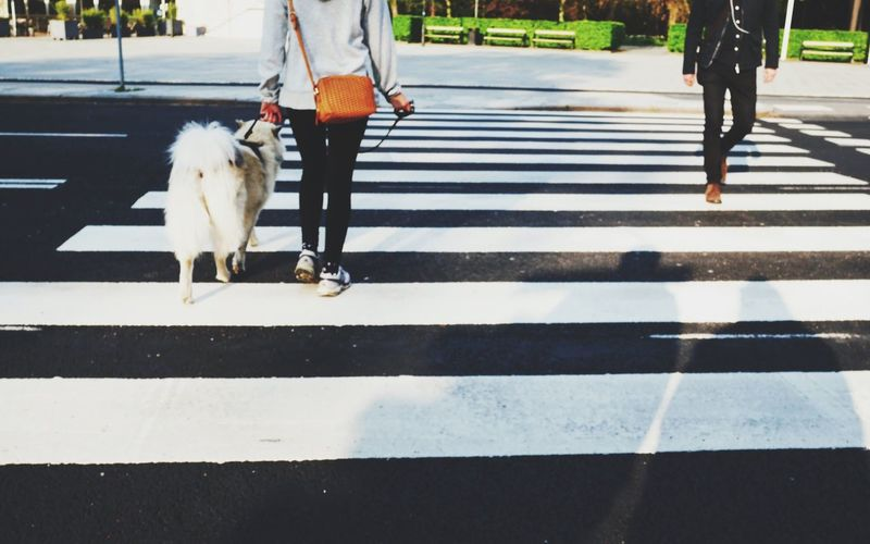 Low section of person with dog on zebra crossing