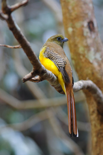Orange-breasted Trogon Harpactes oreskios Bird Animals In The Wild Vertebrate Animal Themes Animal Wildlife Animal One Animal Focus On Foreground Perching Tree Branch Plant Day No People Close-up Nature Outdoors Yellow Selective Focus Beauty In Nature Orange-breasted Trogon